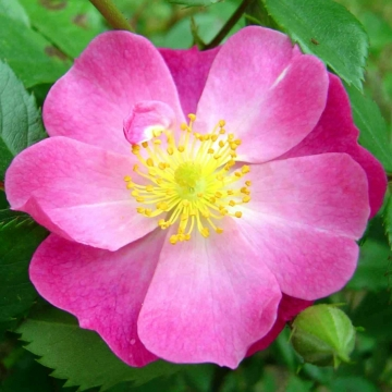 of INELEGANT to give a rather inelegant name for the wild rose (plant)