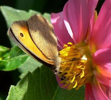 medium_papillon-sur-dalhia.jpg