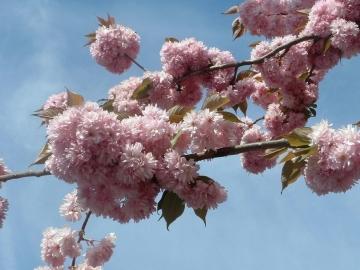 medium_printemps_fleurs_cerisiers.jpg