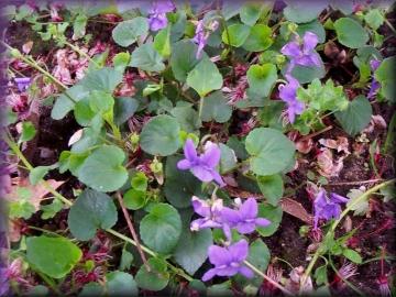 medium_violette.2.jpg